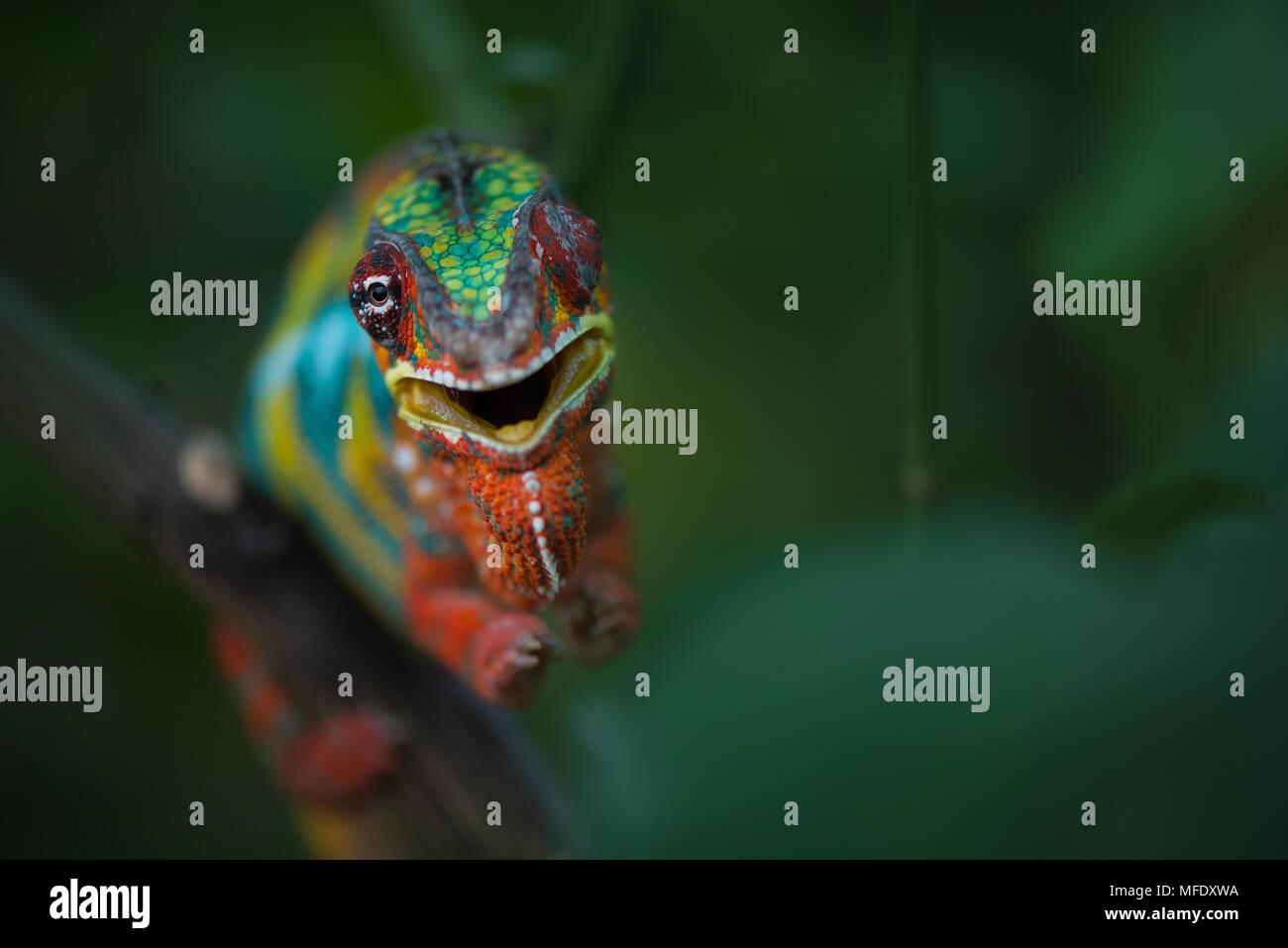 Panther chameleon mit hellen Farben / Furcifer pardalis/wütend zischend Chamäleon / Chameleon / Madagascar Wildlife Stockbild