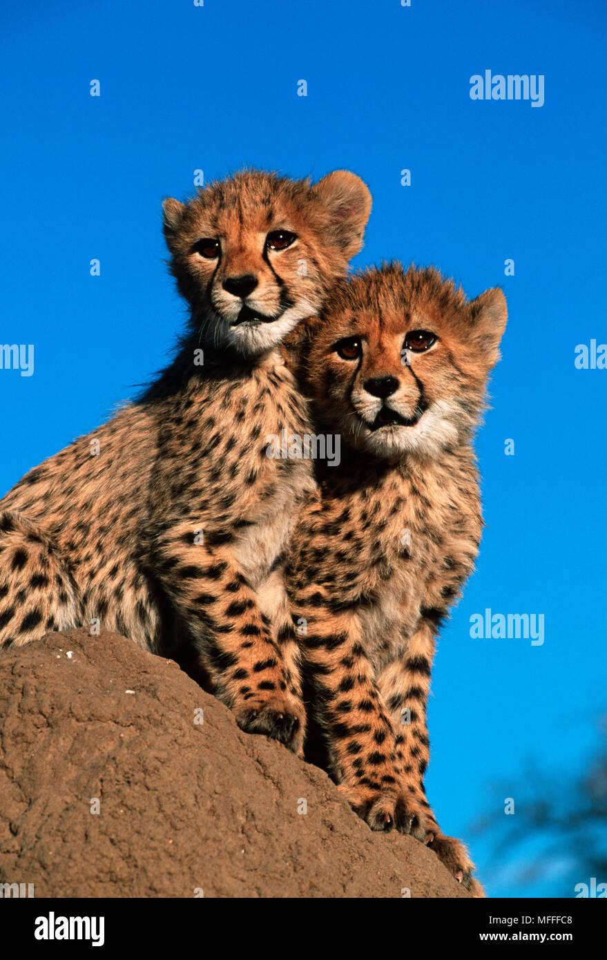 Gepard Acinonyx jubatus sechs Wochen alten Jungen Stockfoto