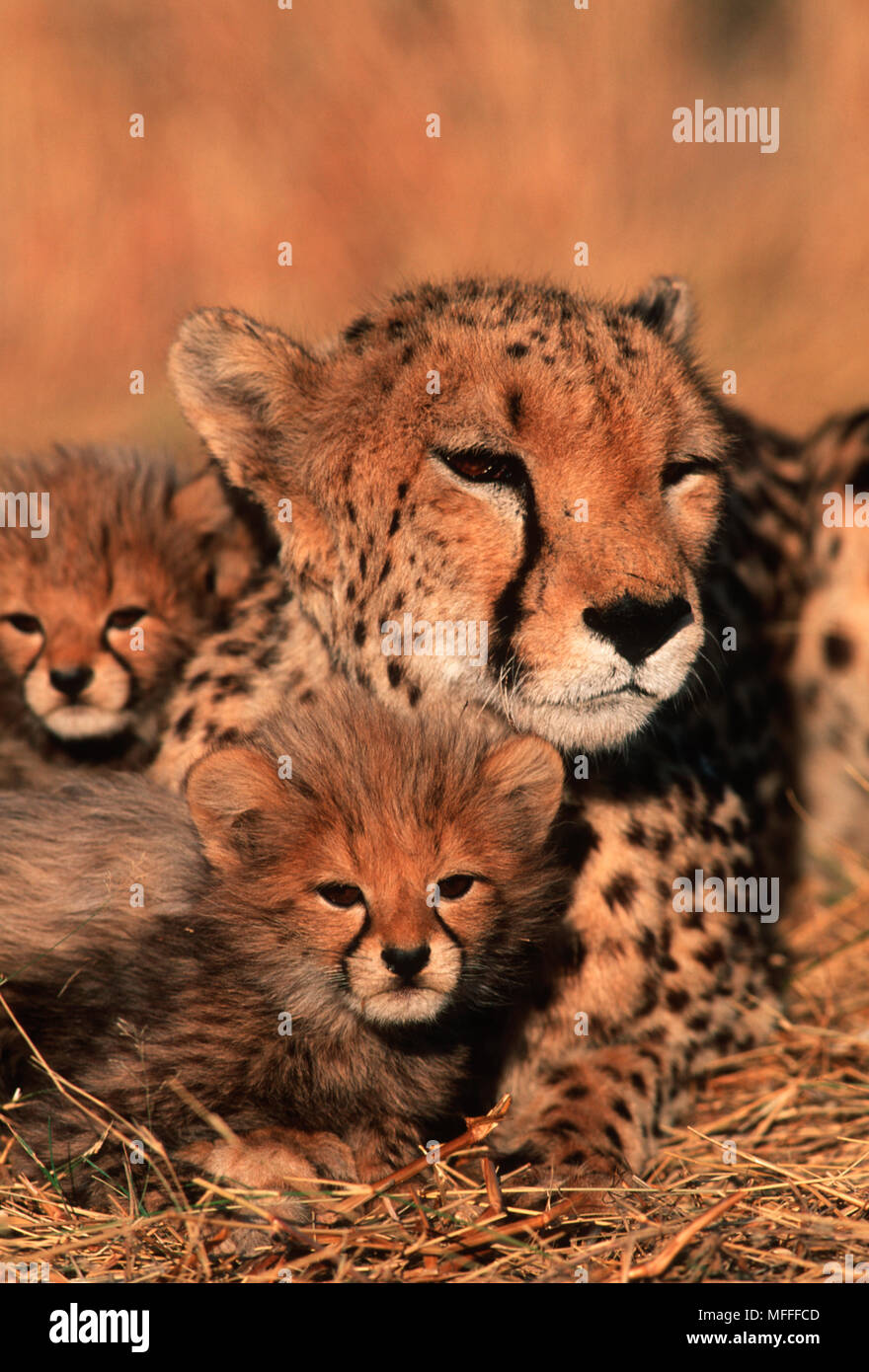 Gepard Acinonyx jubatus sechs Wochen alten Jungen mit Mutter Stockfoto