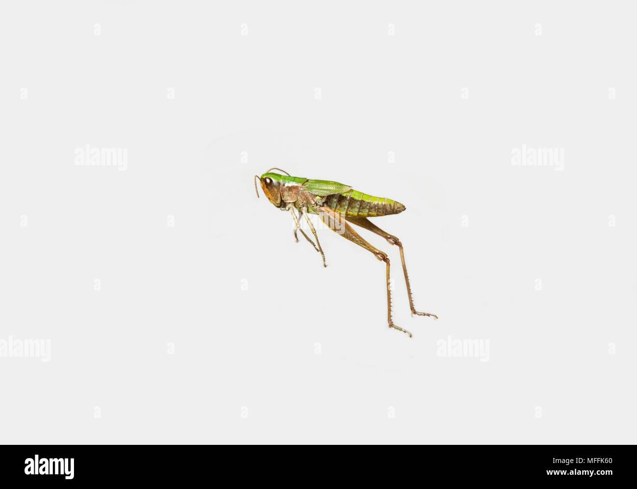 Wiese GRASHÜPFER (Chorthippus Parallelus) Weißer Hintergrund Stockbild