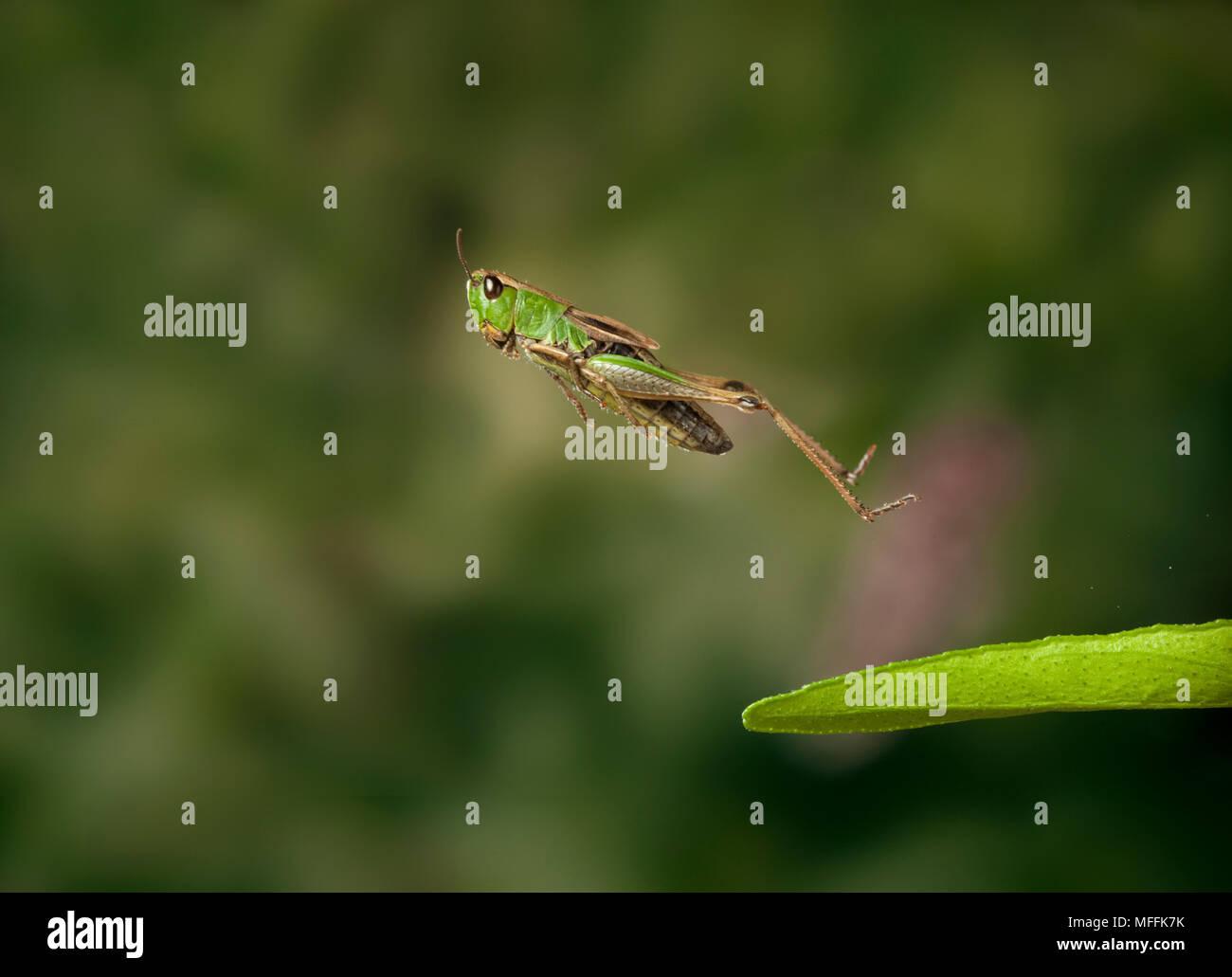 Wiese GRASHÜPFER (Chorthippus Parallelus) springen Stockbild