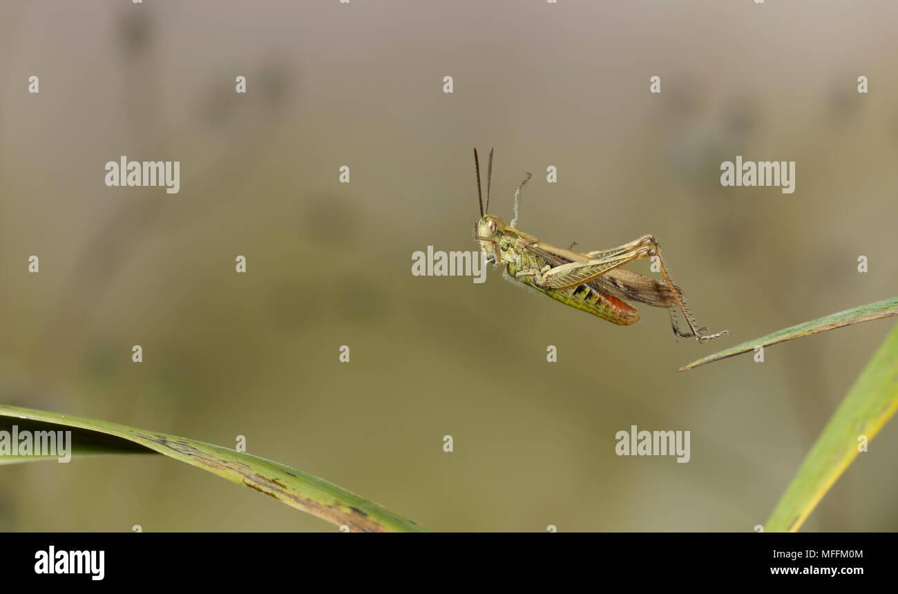 Gemeinsames Feld GRASHÜPFER (Chorthippus Brunneus) springen, Sussex, England. * Höhere Sätze gelten * Stockbild