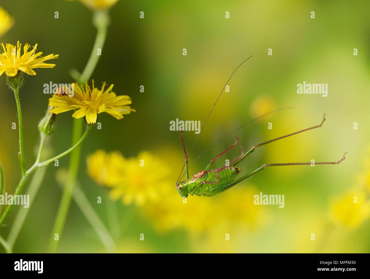 Gesprenkelte BUSH CRICKET (Leptophytes punctatissima) springen, frequentiert, Wiesen und Gebüsch, Sussex, England. * Höhere Sätze gelten * Stockbild