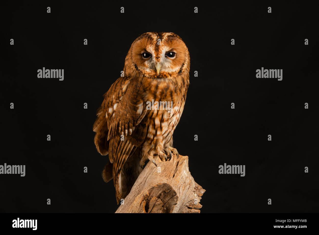 Waldkauz auf ein Studio Hintergrund Stockbild