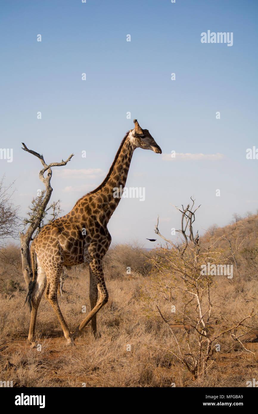 Wild giraffe gegen afrikanische Hintergrund Stockbild