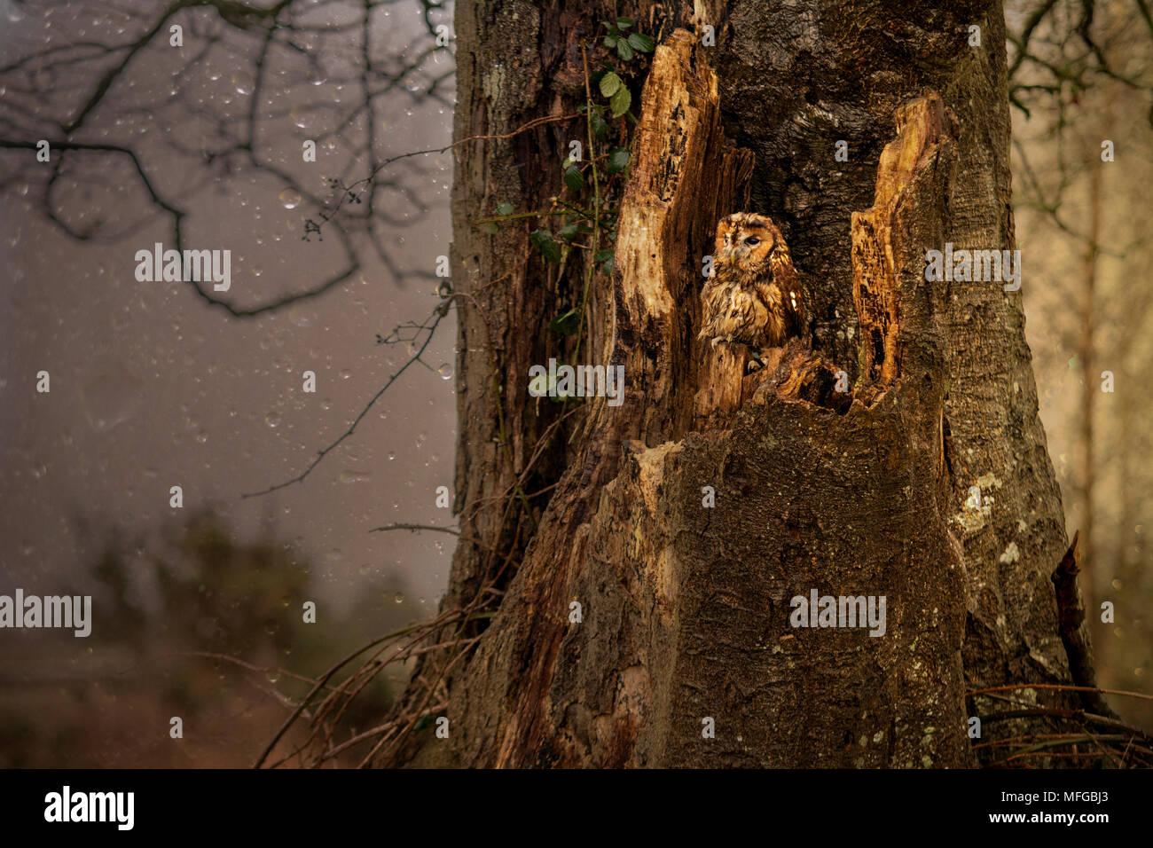 Waldkauz im Regen Stockbild