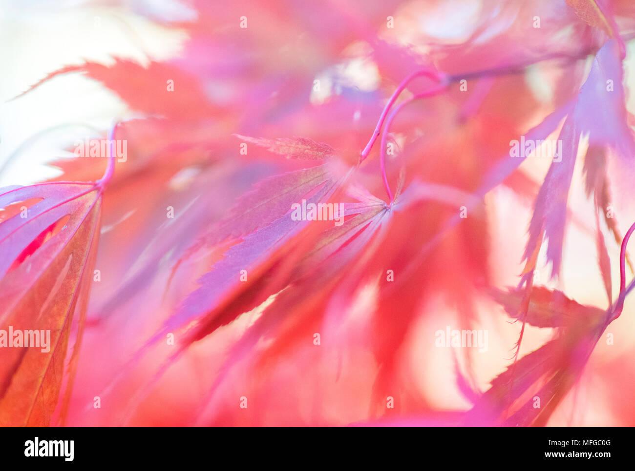 Herbst Blätter rosa Schatten im Arboretum Stockbild