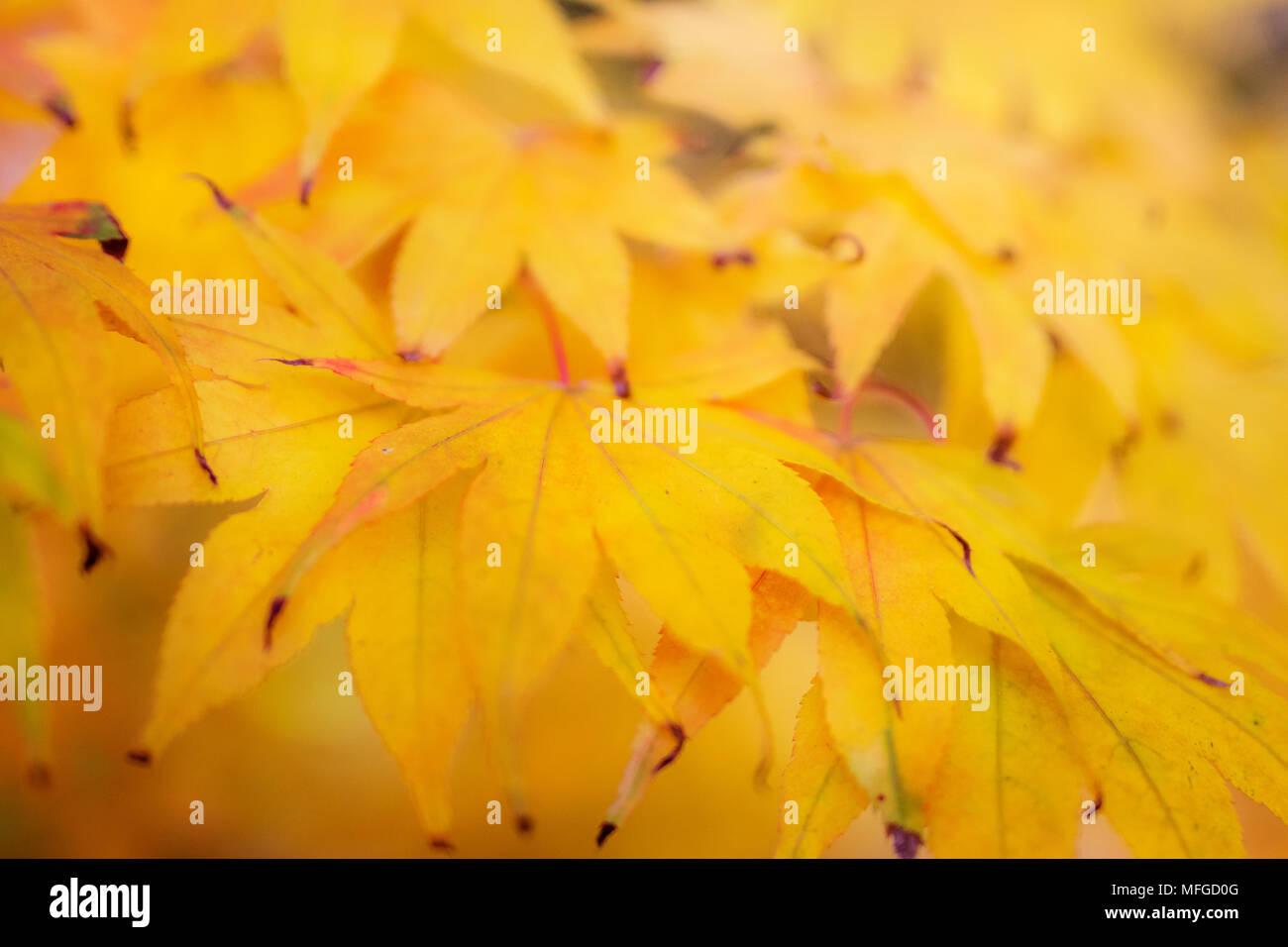 Leuchtend gelben Blätter im Herbst in weiches Licht Stockbild