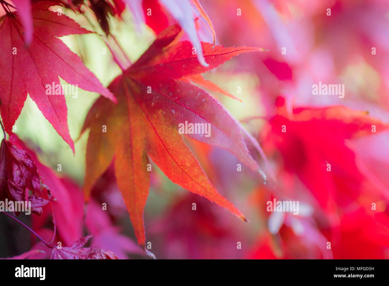 Soft Focus rosa Schattierungen der Blätter im Herbst Stockbild