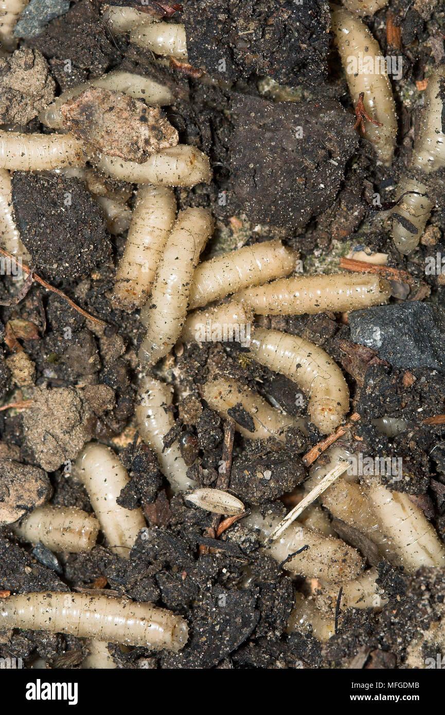 Maden in der Mülltonne Ablagerungen (schmeißfliege Larven ...