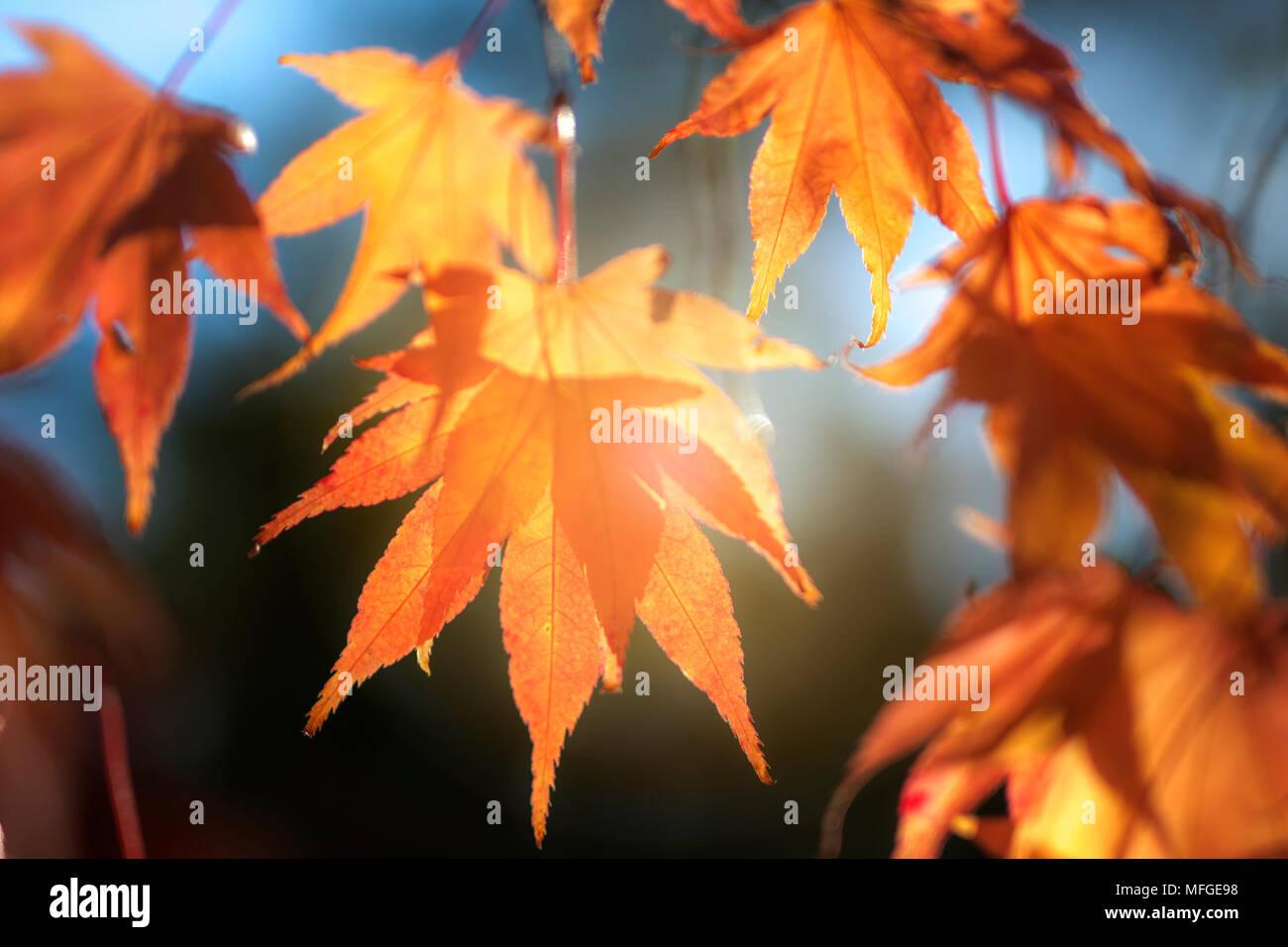 Goldener Herbst Blätter in Westonbirt Areborteum genommen Stockbild
