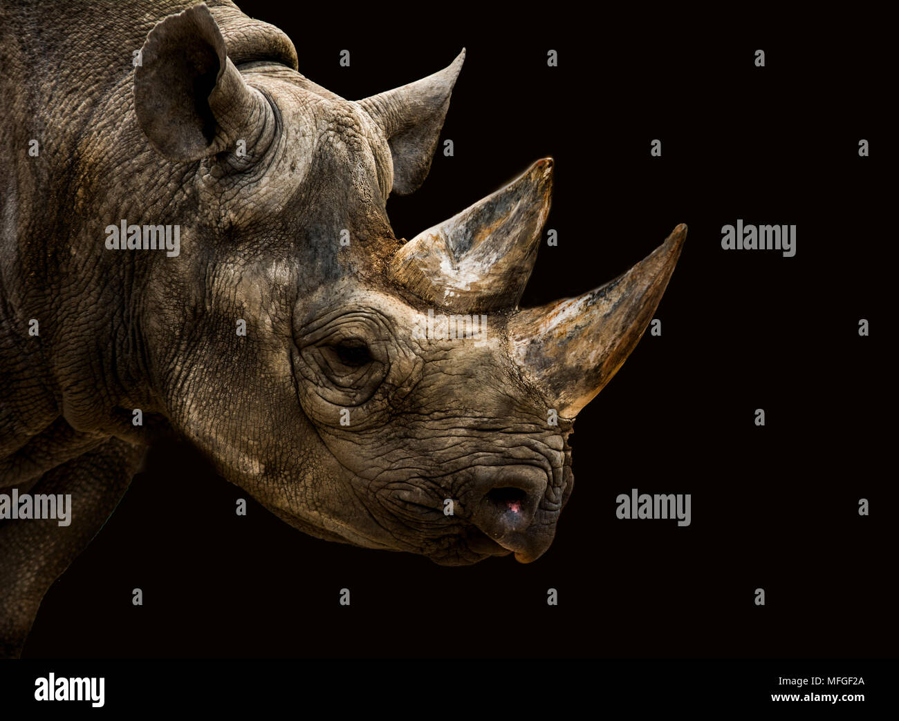 Black Rhino mit starken Features Stockbild