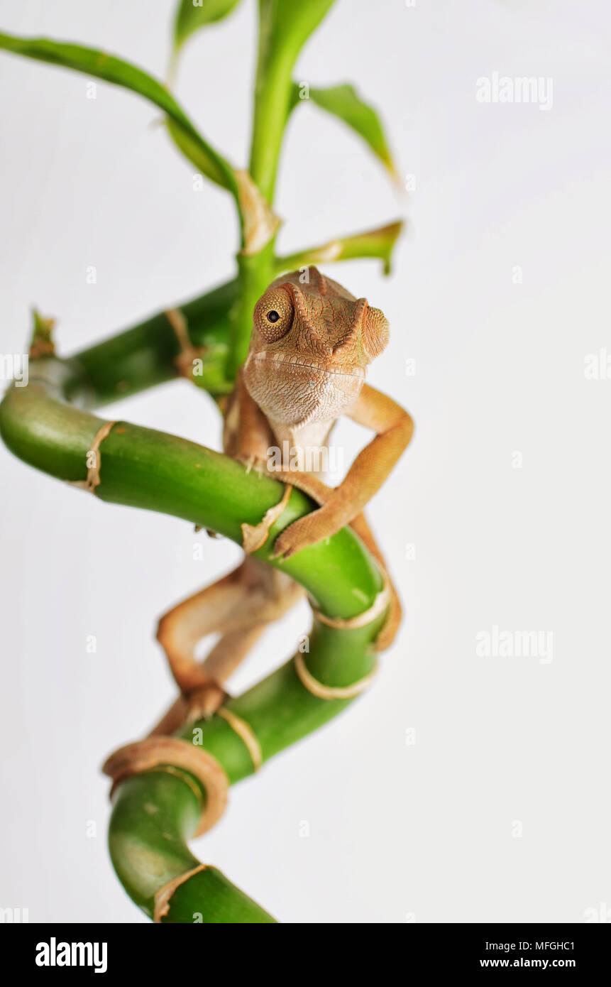 Studio schießen, Chameleon Bambus klettern Stockbild