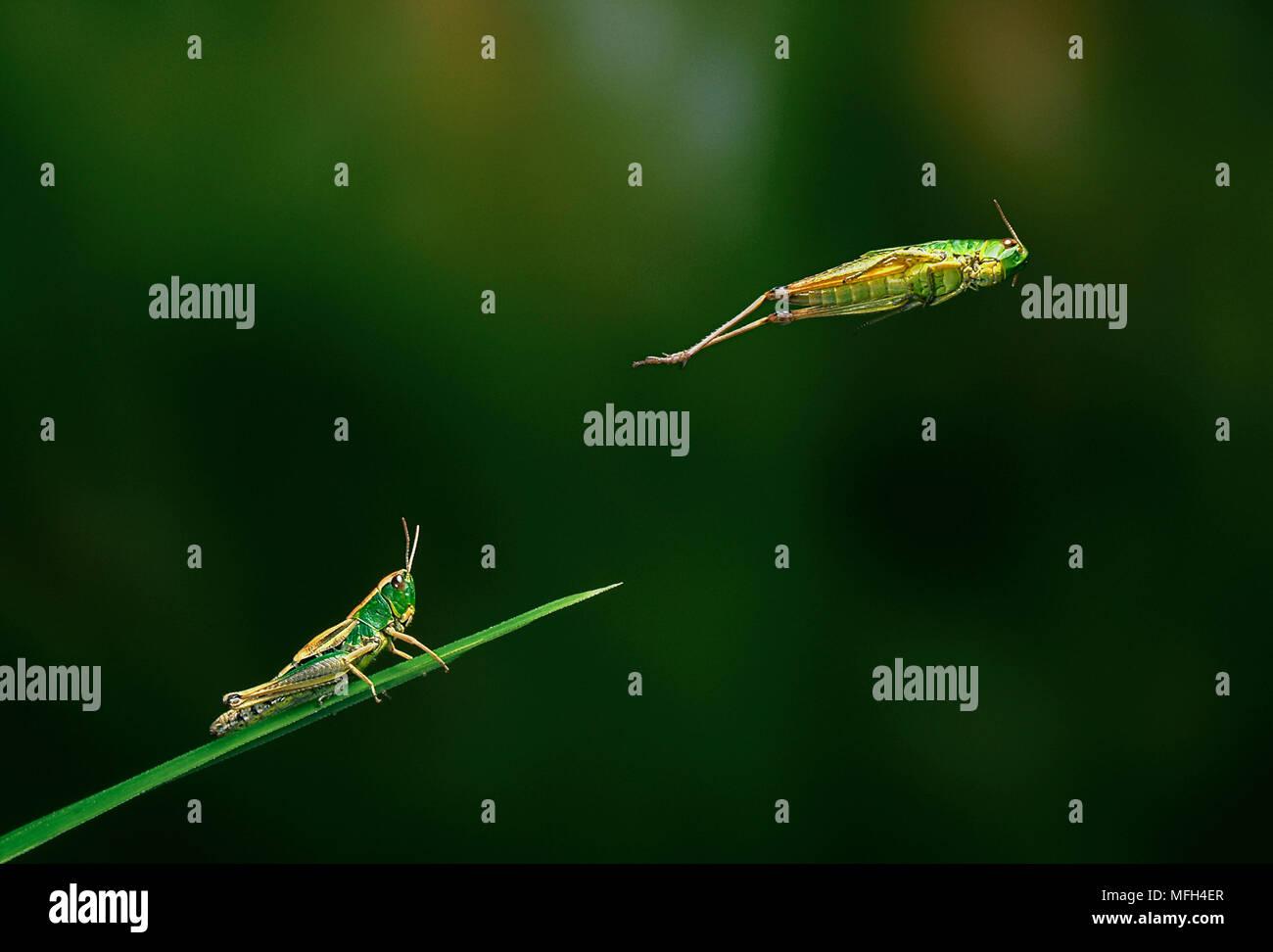 Wiese grashüpfer Chorthippus parallelus leaping Multiflash Bild Stockbild