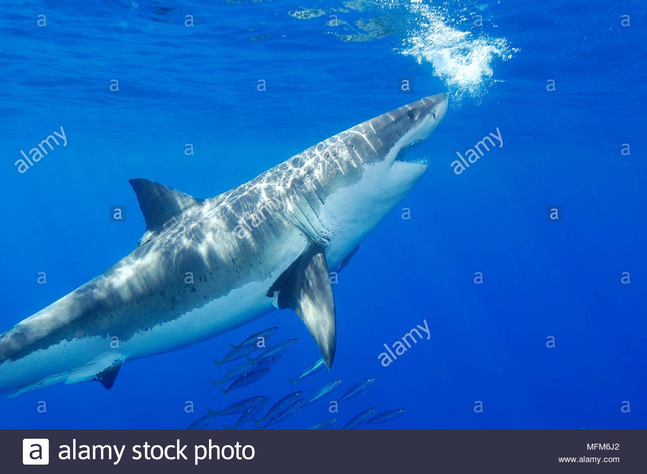 Charmant Große Weiße Hai Färbung Seite Fotos ...