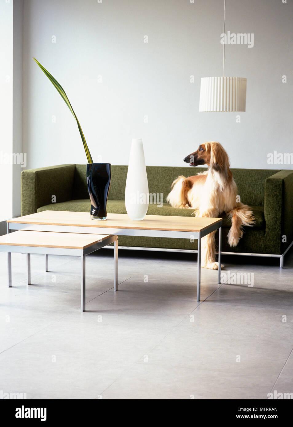Afghan hound auf grünem Sofa in moderne Wohnzimmer Stockfoto, Bild ...
