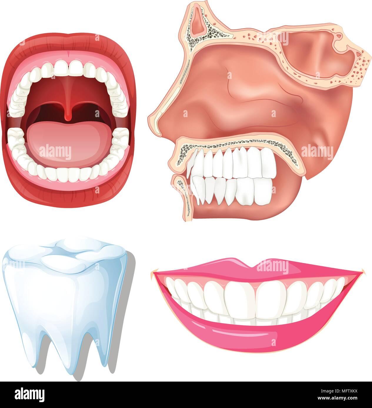 Berühmt Anatomie Der Menschlichen Zähne Zeitgenössisch - Menschliche ...
