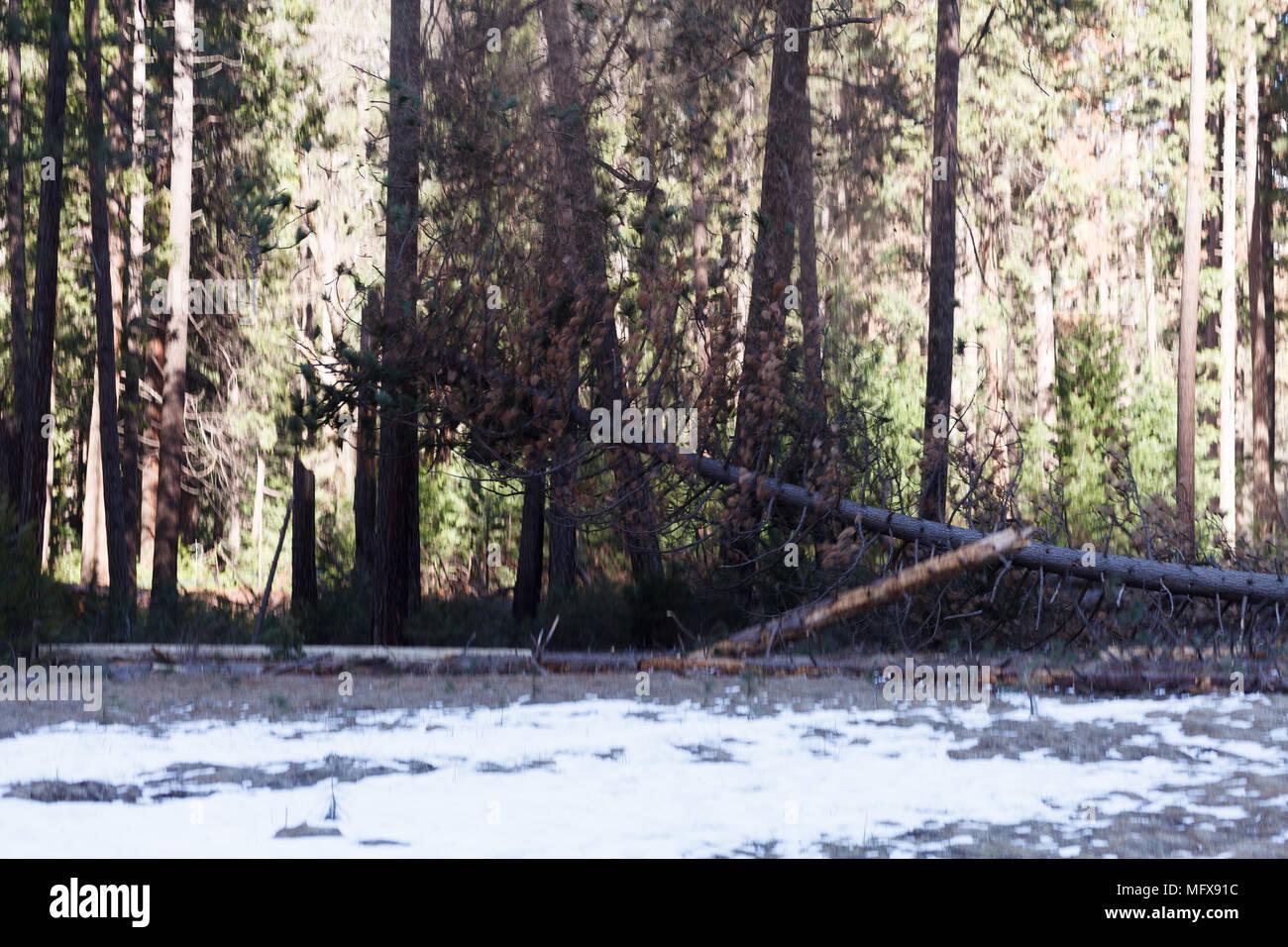 Yosemite Baum Schneiden Im Yosemite Valley Kalifornien Yosemite
