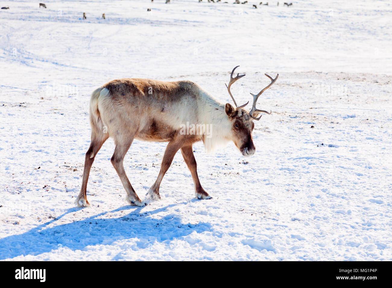 Rentier im Winter tundra Stockbild