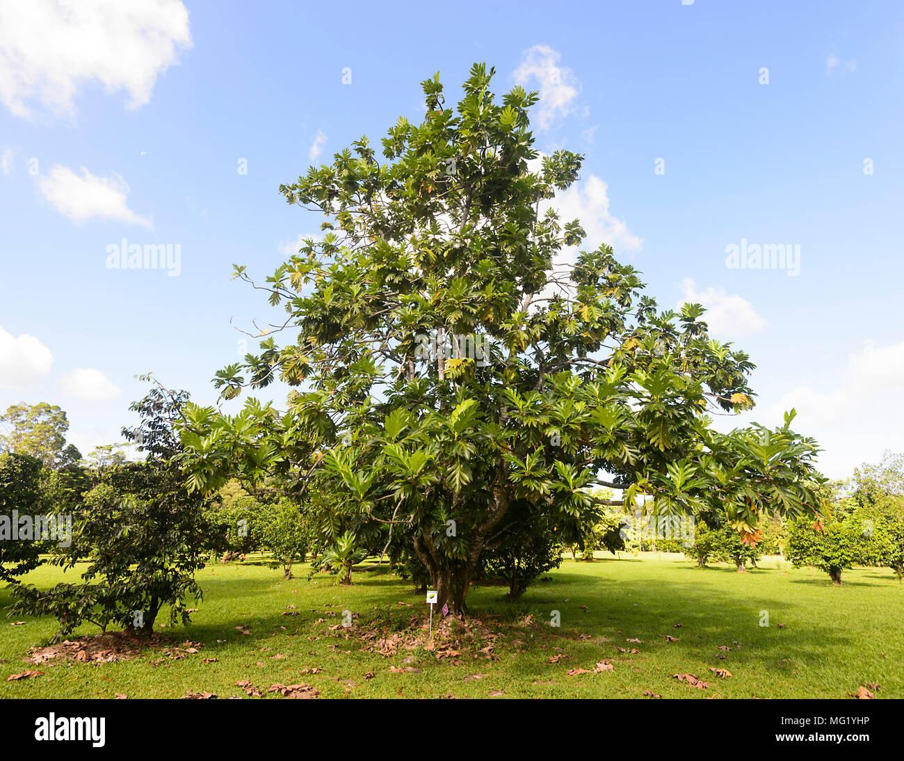 Brotfruchtbaum zum Daintree Eis Co & tropischen Obstgarten im Daintree National Park, Far North Queensland, FNQ, QLD, Australien wachsenden Stockbild