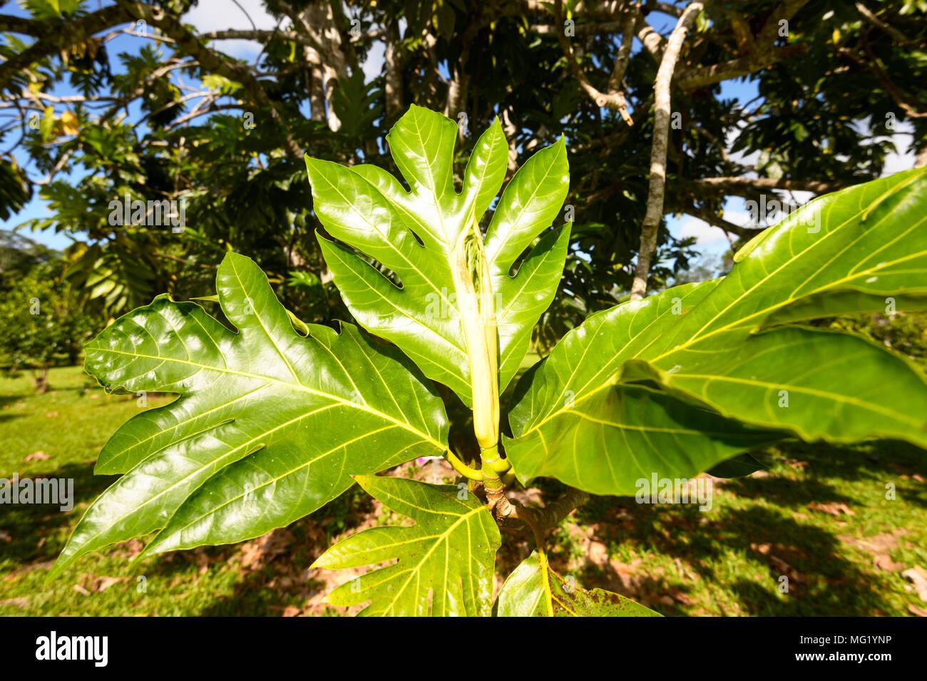 Laub eines Brotfruchtbaum wachsende zum Daintree Eis Co & tropischen Obstgarten im Daintree National Park, Far North Queensland, FNQ, QLD, Austr Stockbild