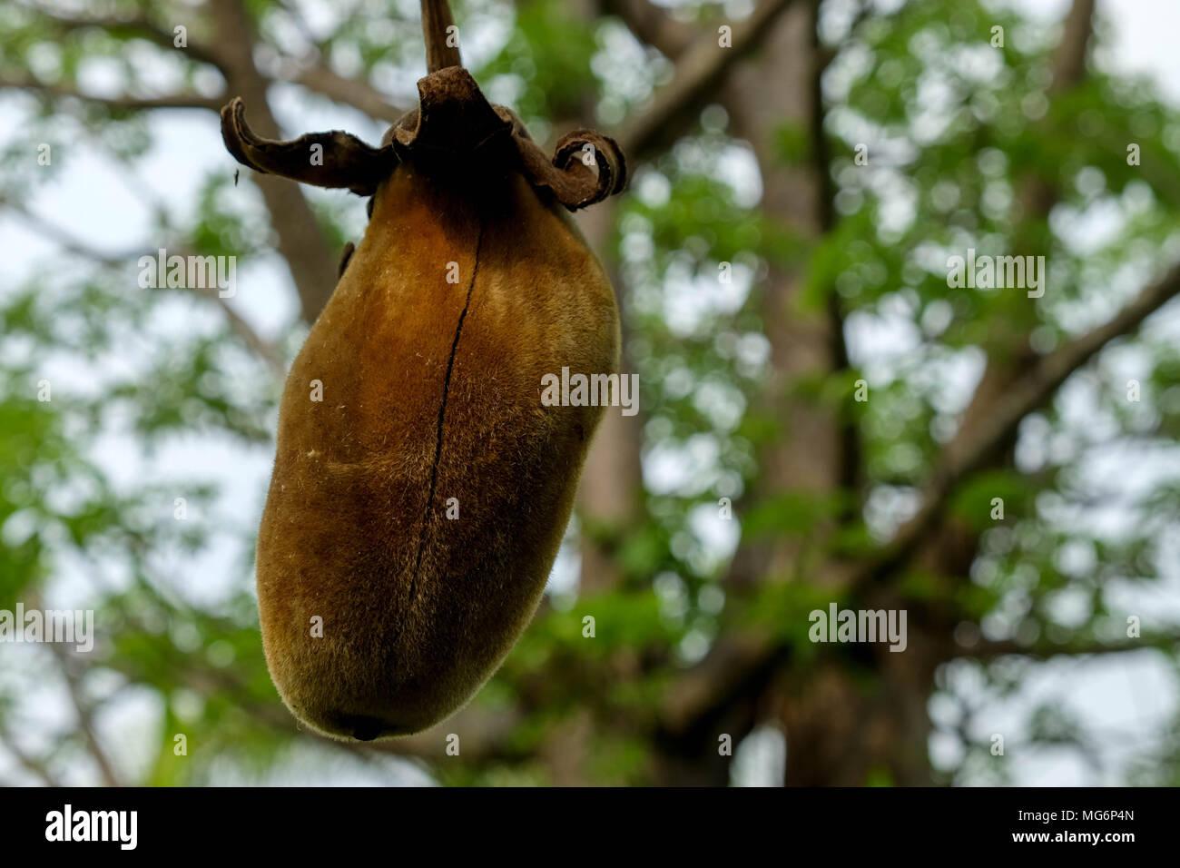 Baobab Frucht Stockfoto Bild 182087269 Alamy