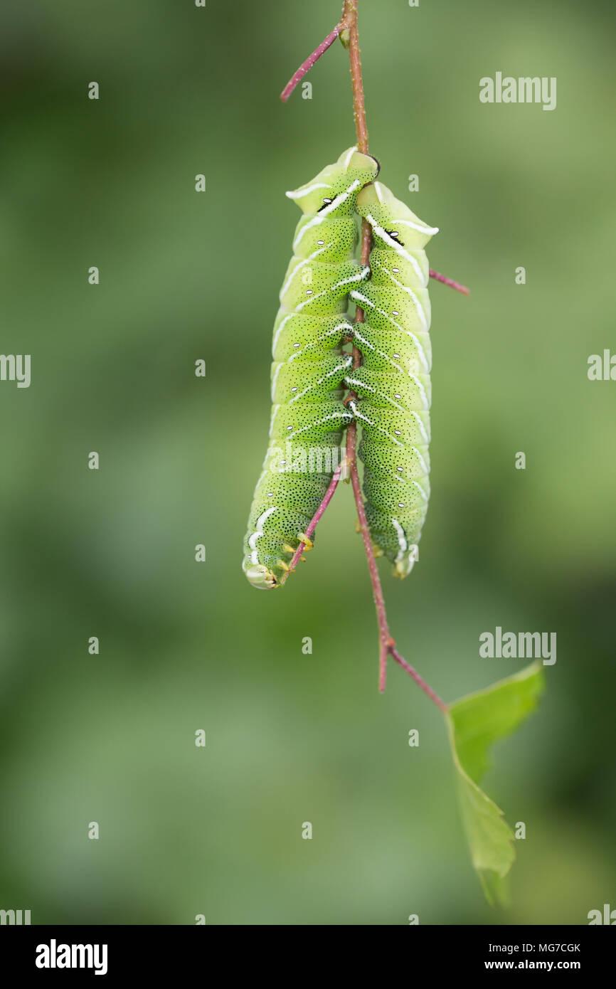 Caterpillar Larva Stockfotos & Caterpillar Larva Bilder - Seite 42 ...