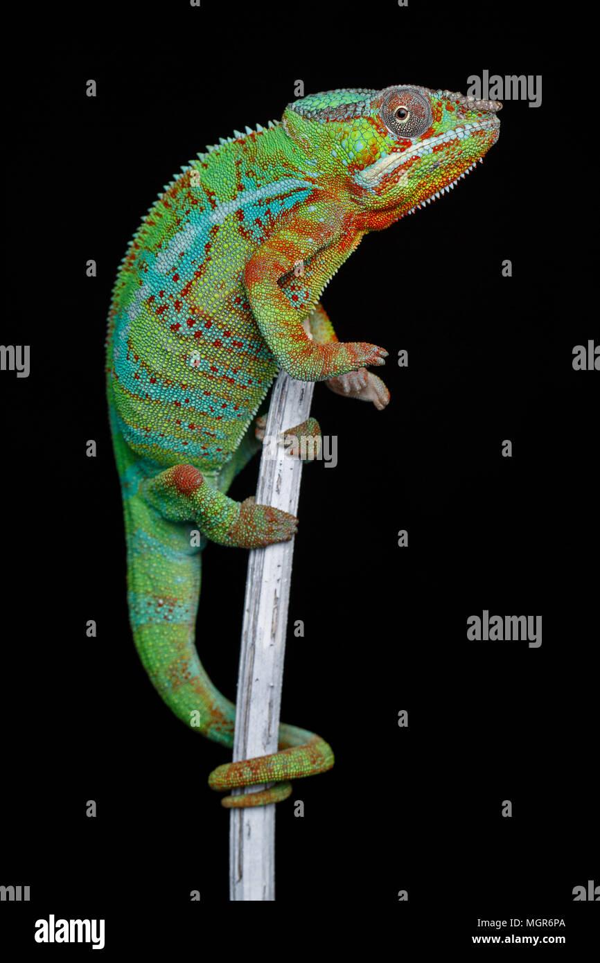 Lebendig Chameleon reptile Stockbild