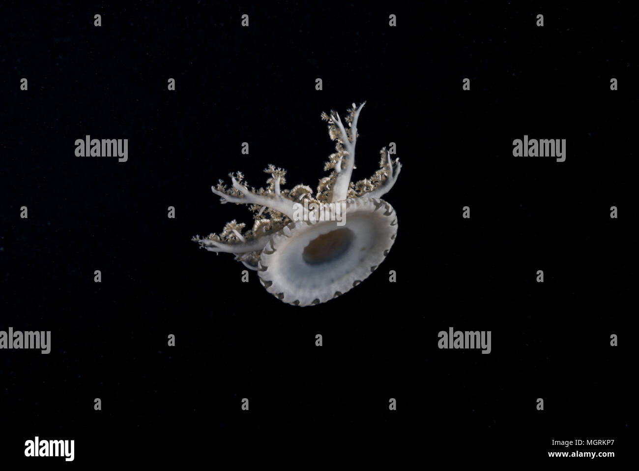Kopfüber Quallen (Cassiopea Andromeda) in der Nacht Stockbild