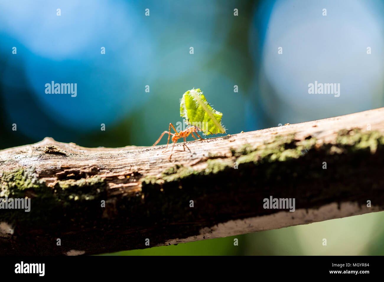 Ameisen sind die Blätter Stockbild