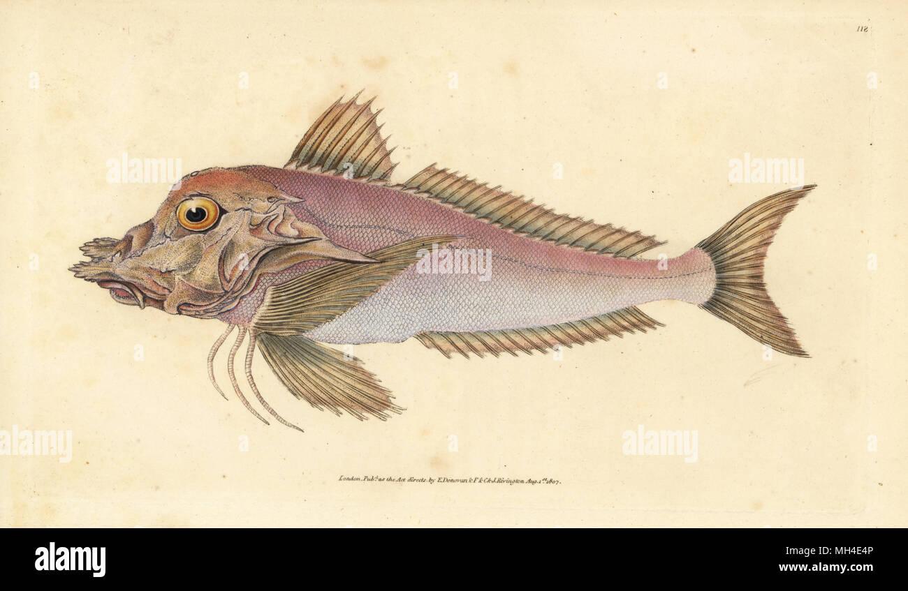 Piper, Trigla Lyra. Papierkörbe Kupferstich erstellt und von Edward Donovan aus seiner natürlichen Geschichte der britischen Fische, Donovan und F.C. und J. Rivington, London, 1802-1808 eingraviert. Stockfoto