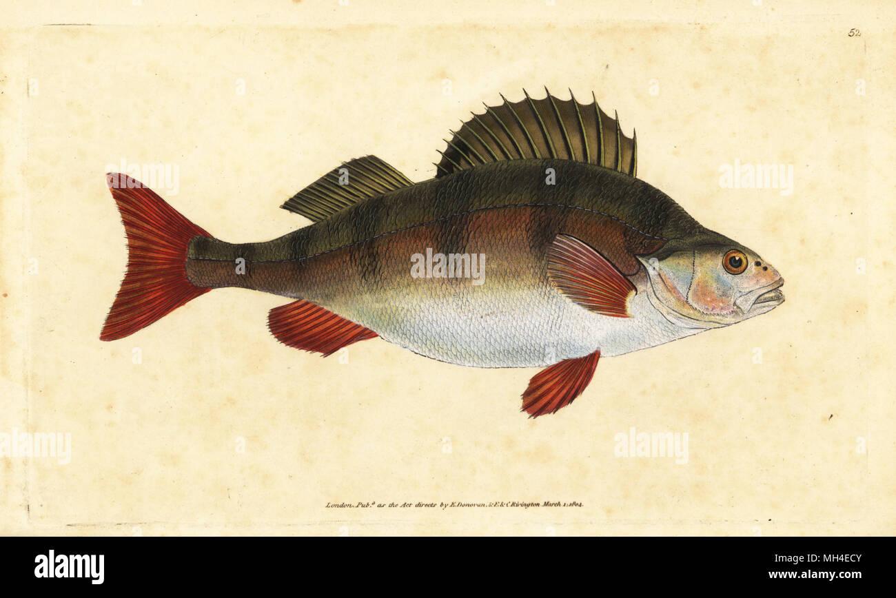 Barsch Perca fluviatilis. Papierkörbe Kupferstich erstellt und von Edward Donovan aus seiner natürlichen Geschichte der britischen Fische, Donovan und F.C. und J. Rivington, London, 1802-1808 eingraviert. Stockfoto