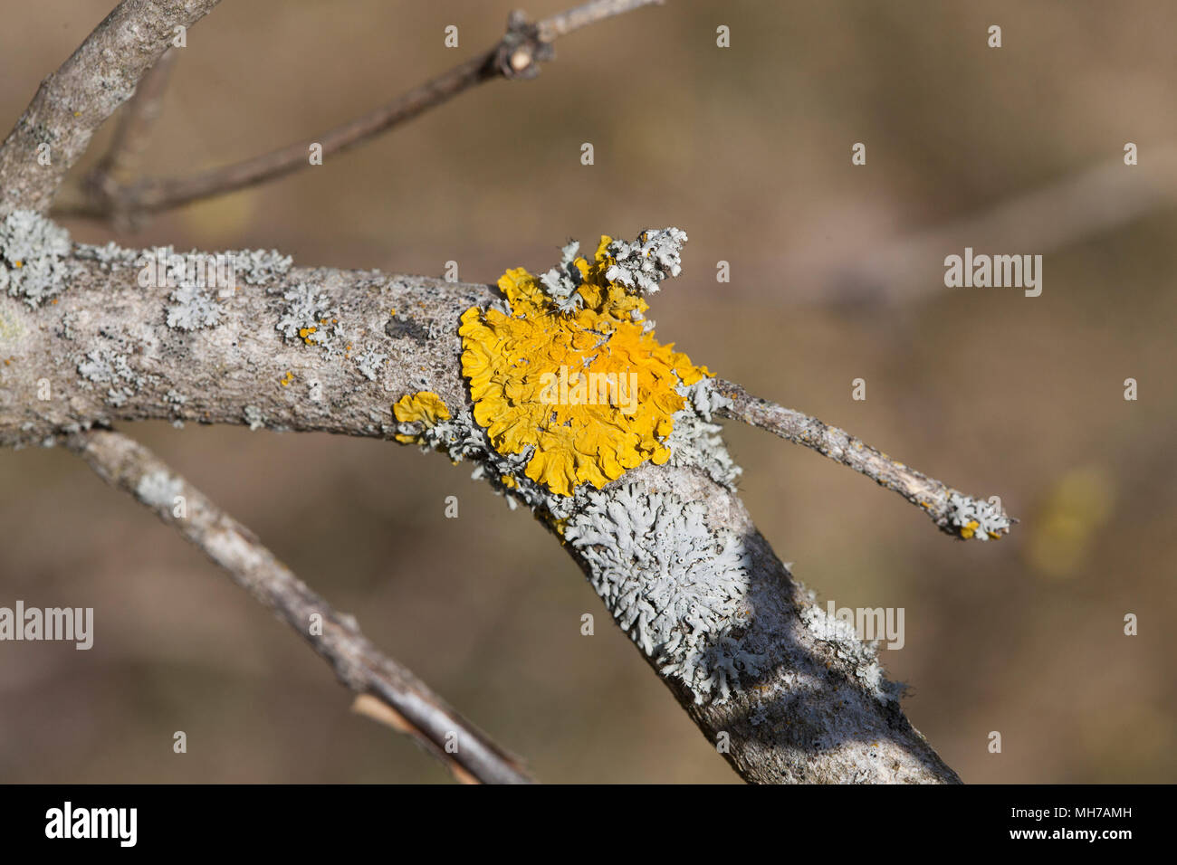 Flechten auf Ast Lichenes 2018 Stockbild