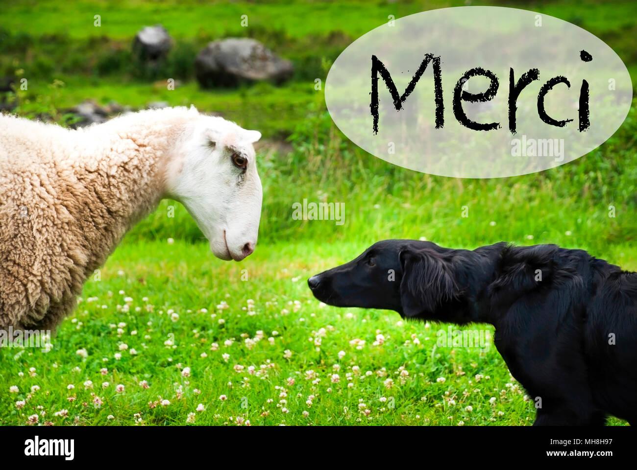 Hund Trifft Schafe Merci Danke Stockfoto Bild 182742035 Alamy
