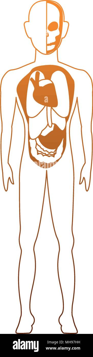 Menschliche Körper Anatomie auf orange Linien Vektor Abbildung ...