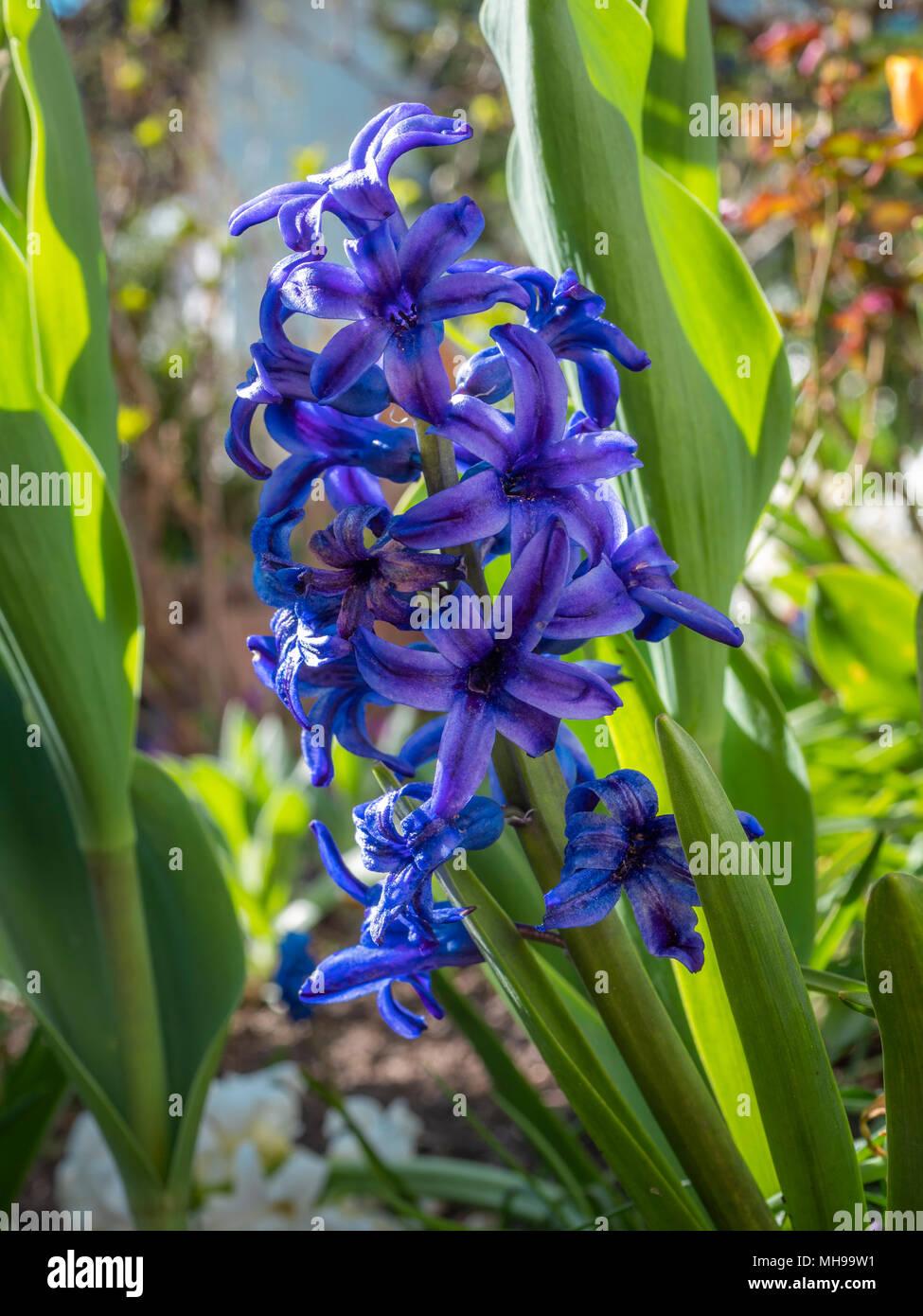 Blauer Garten Hyazinthe (Hyacinthus), Familie der Spargel (Asparagaceae) Stockbild