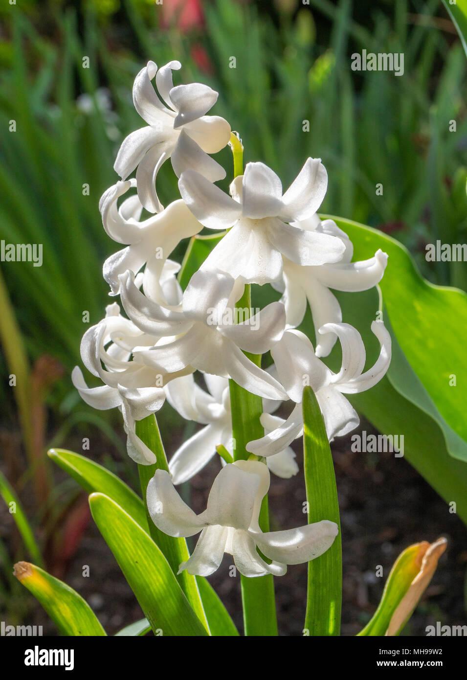 Weiße Garten-Hyazinthe (Hyacinthus), Familie der Spargel (Asparagaceae) Stockbild