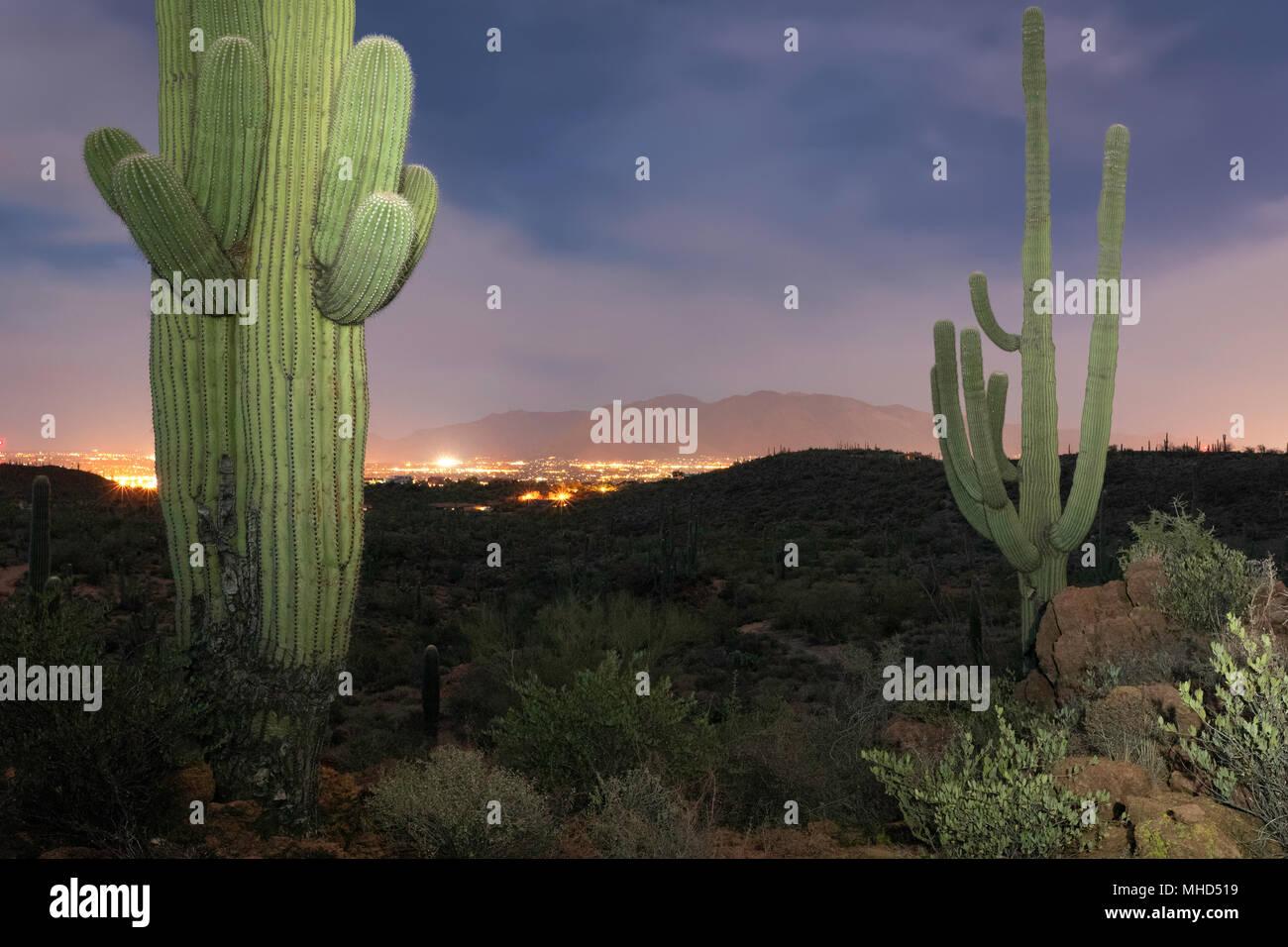 Saguaro Kaktus (Carnegiea gigantea) am Abend mit den Lichtern der Stadt in der Ferne, Tucson, Arizona Stockfoto
