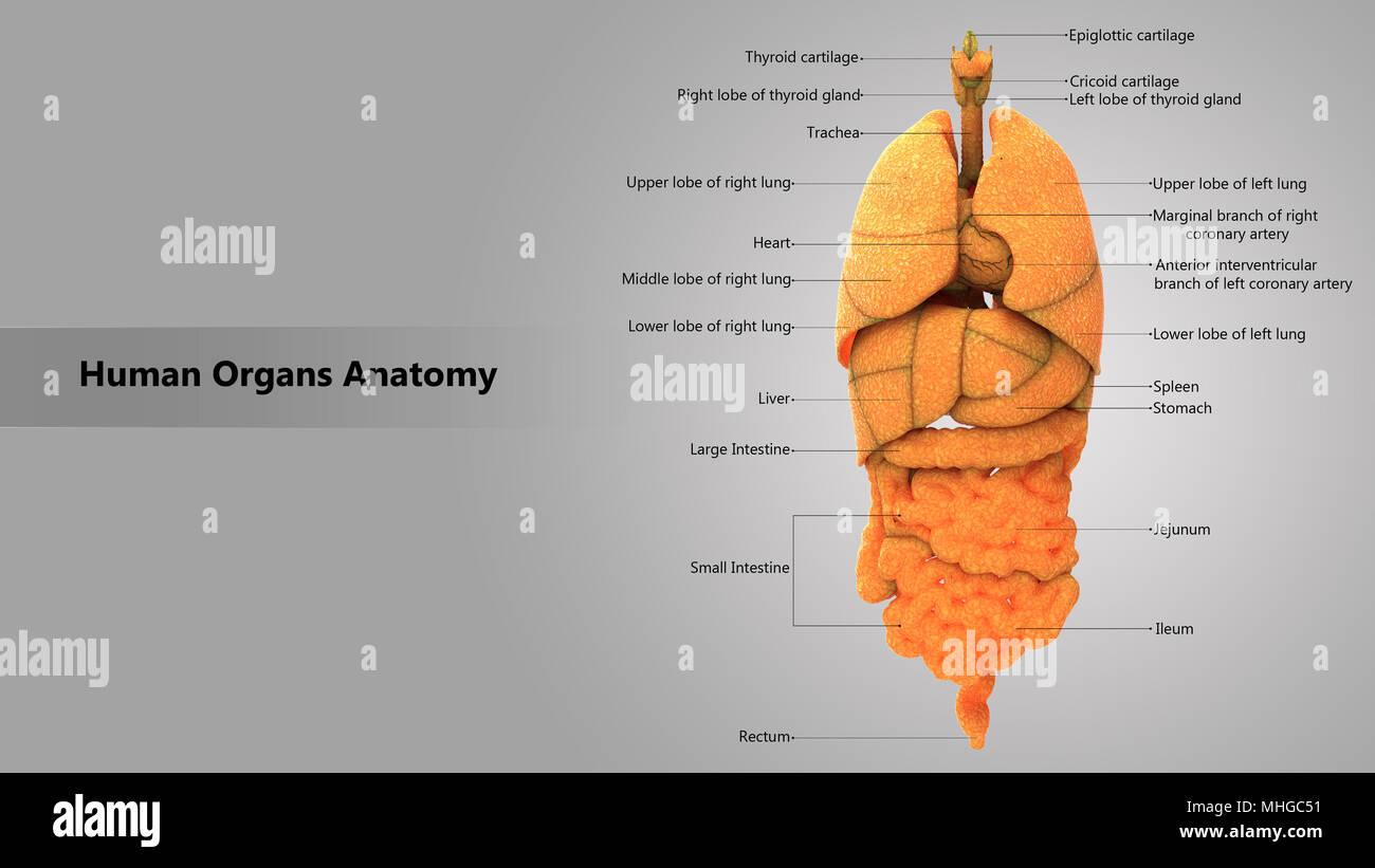 Menschliche Körper Innere Organe mit Label Design Anatomie anteriore ...