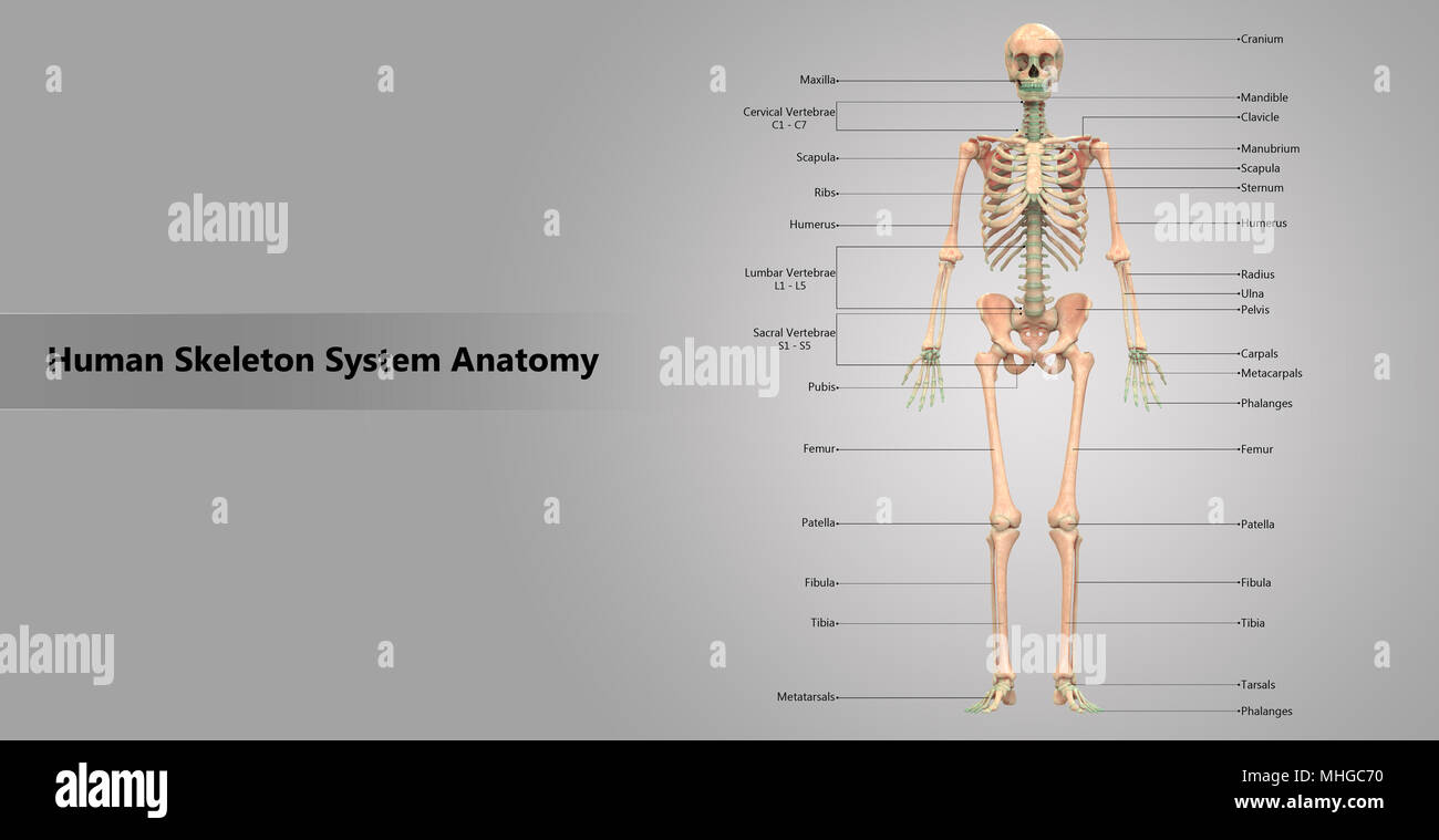 Spine Anterior View Stockfotos & Spine Anterior View Bilder - Alamy