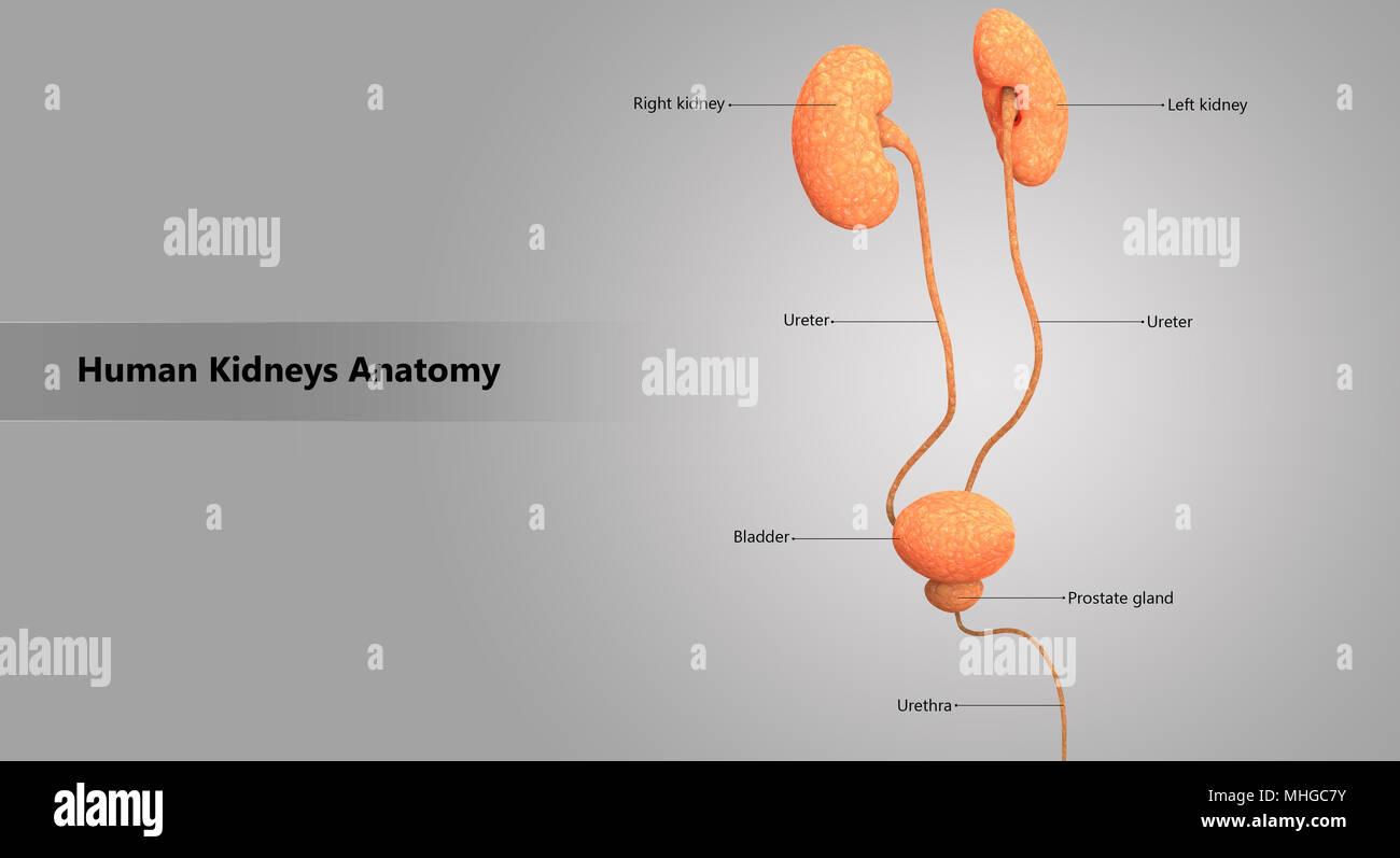 Prostate Bladder Stockfotos & Prostate Bladder Bilder - Alamy