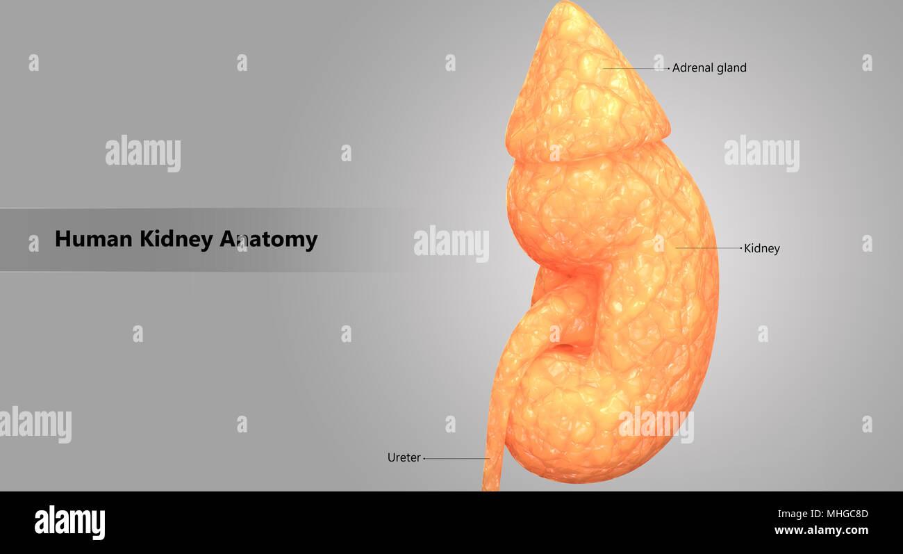 Fein Anatomie Und Physiologie Des Harnwege Bilder - Physiologie Von ...