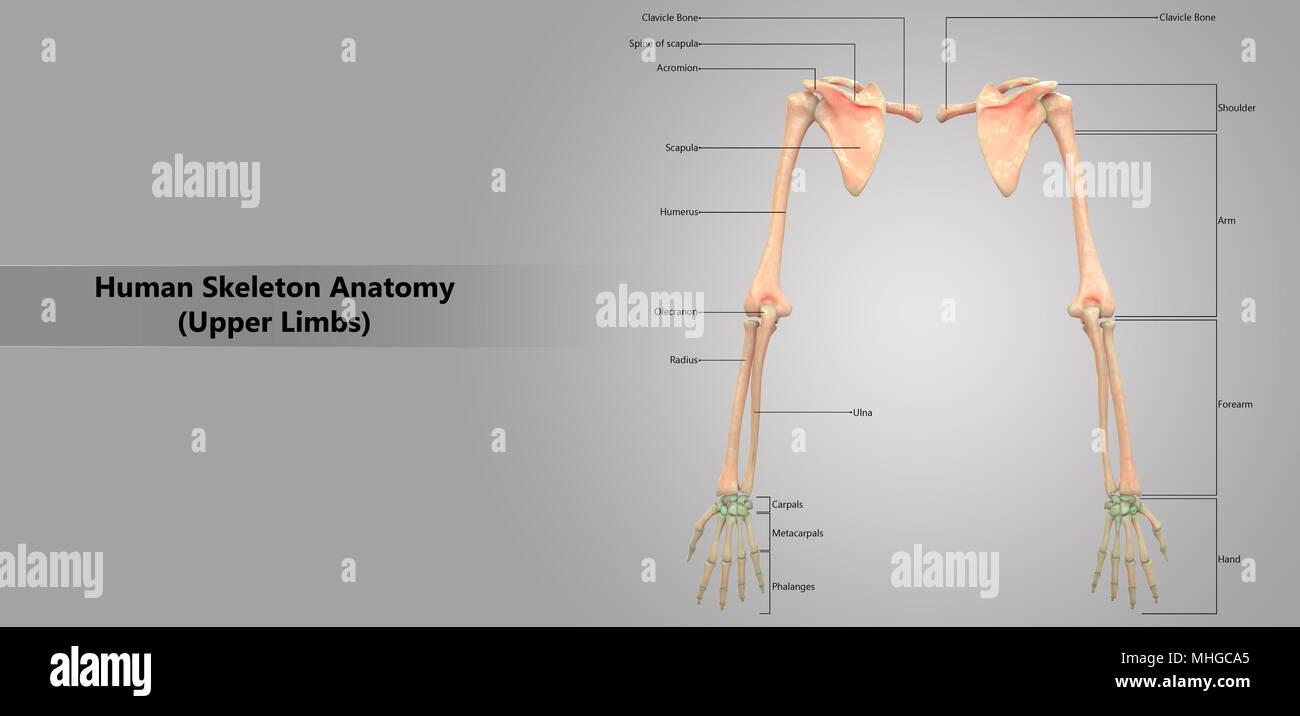 Menschliches Skelett System der oberen Gliedmaßen mit Label Design ...