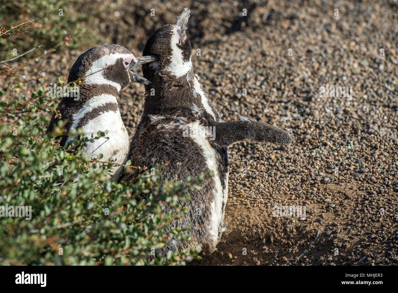 Patagonien pinguin Nahaufnahme portrait am Strand suchen Sie Stockfoto