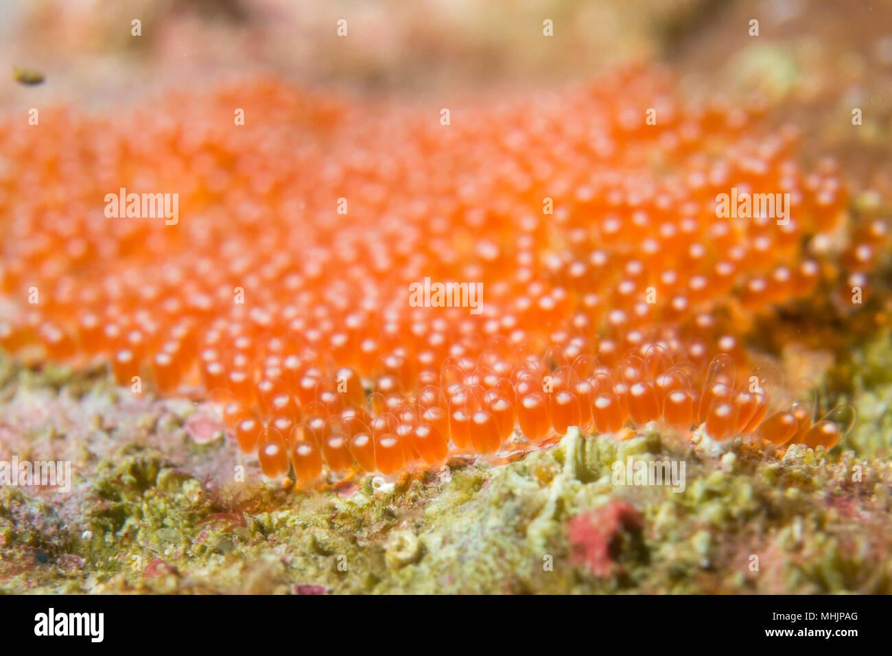 Fisch Eier