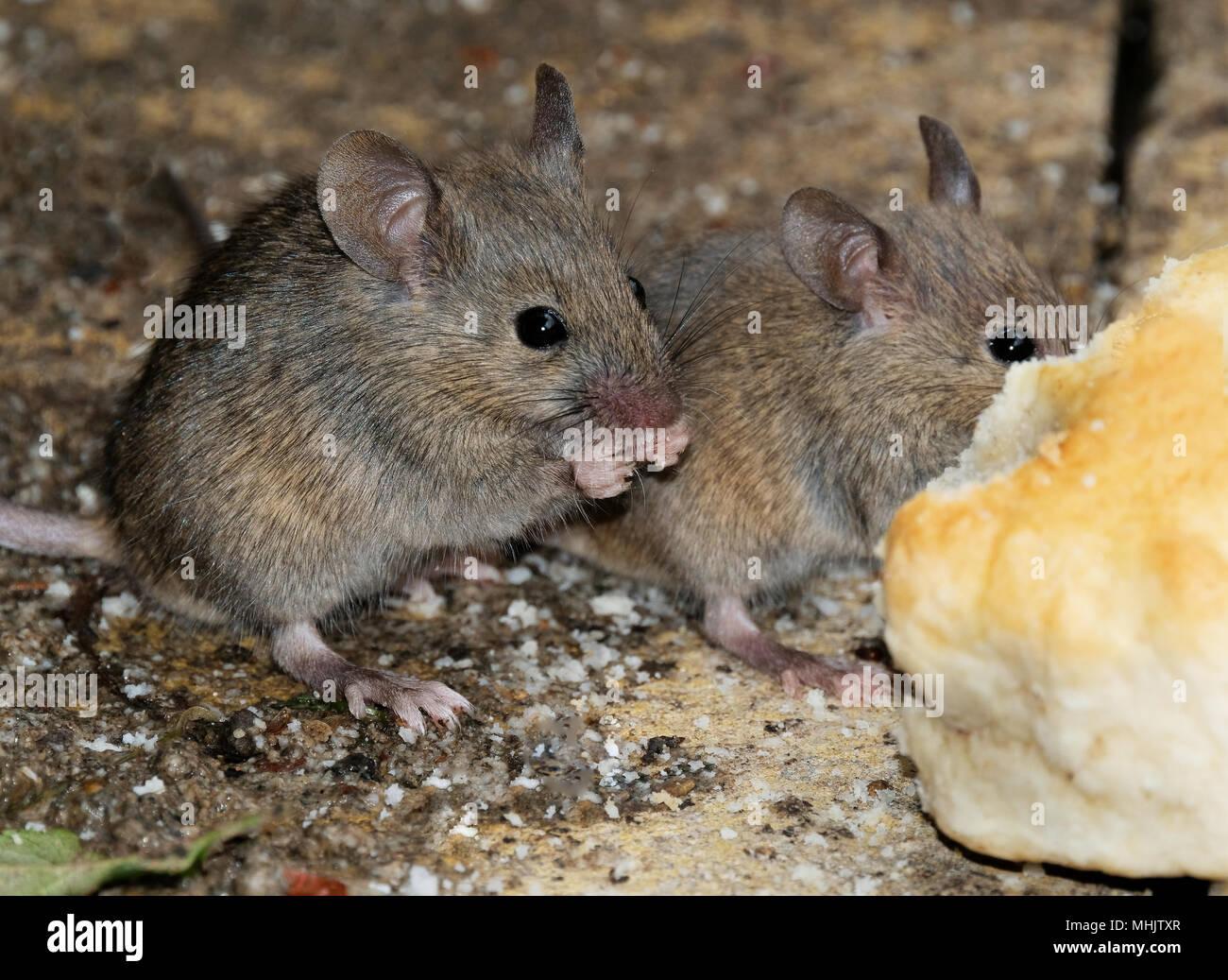 Mäuse Füttern Im Städtischen Haus Garten.