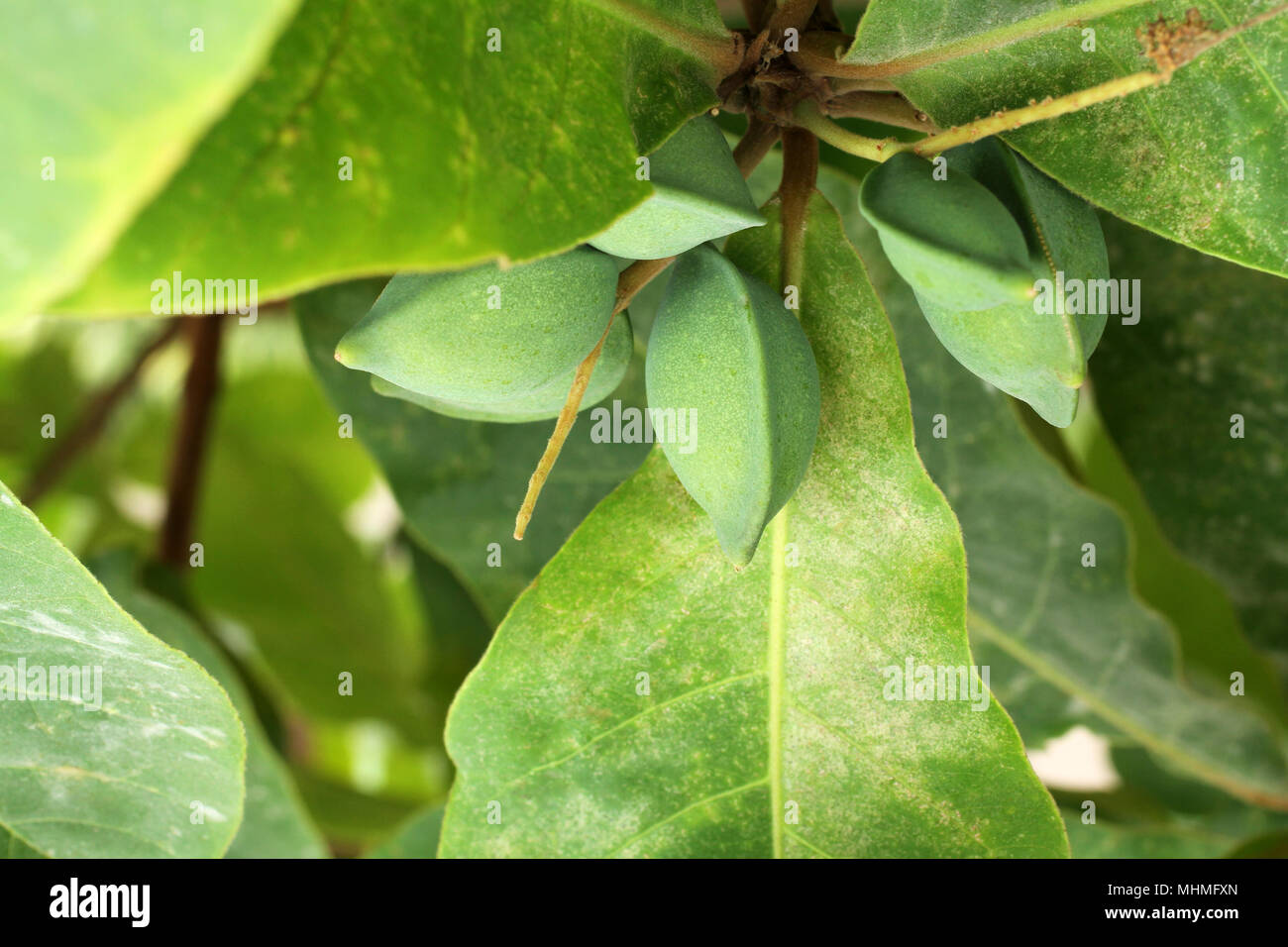 Grüne Farbe unreif Indische Mandel Früchte am Baum (Tropische Mandel ...