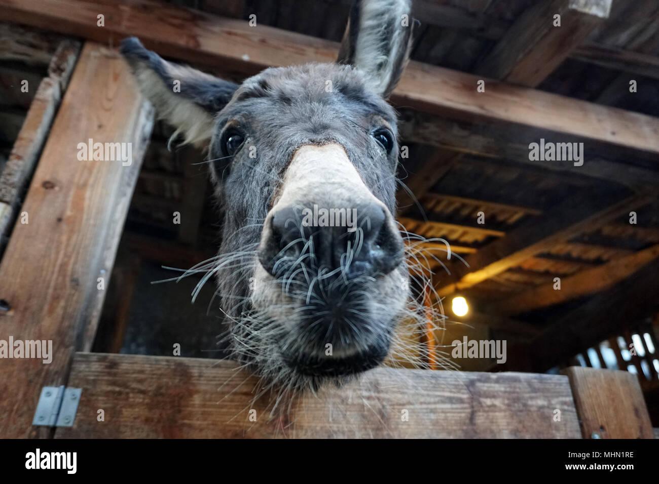 Weihnachten Esel in stabilen Nahaufnahme Stockfoto, Bild: 183015266 ...
