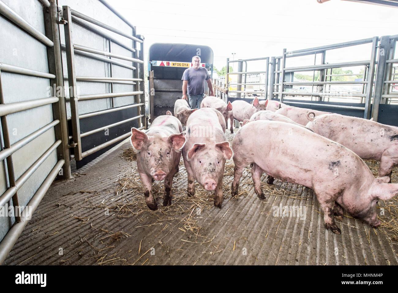 Verbringung von Schweinen auf den Markt Stockbild