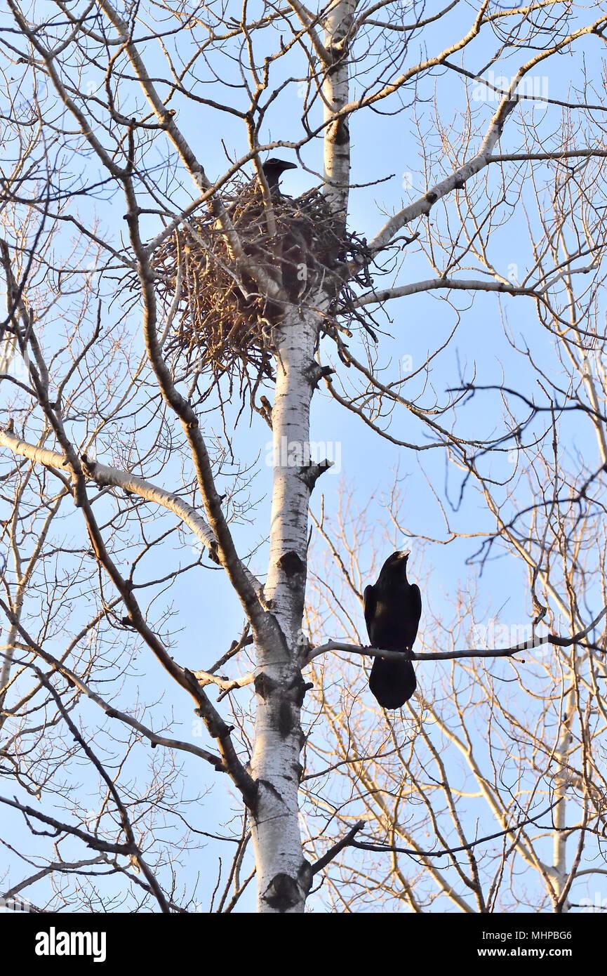 Eine vertikale Bild von zwei gemeinsamen Krähen Gebäude ein Nest in einer Pappel in ländlichen Alberta Kanada Stockbild